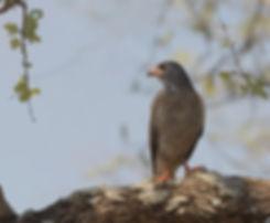 Deze Hagedis Buizerd heb ik in Zambia gefotografeerd.