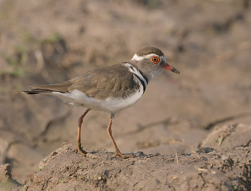 Three-Banded Plover (Drieband Plevier)