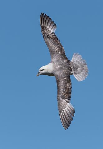 Vogelfotografie Isle of May, Noordse Stormvogel.