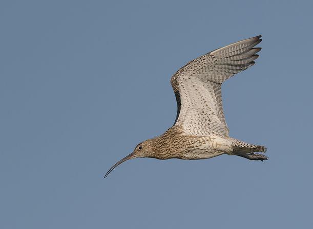 Vogelfotografie Texel.  Vluchtfoto Wulp.