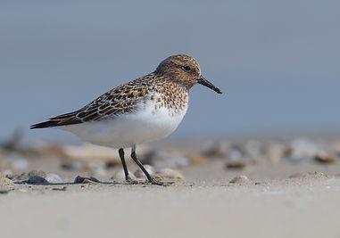 Vogelfotografie Texel. Drieteenstrandloper.