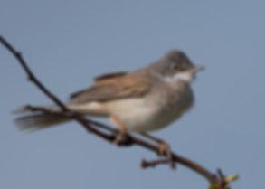 Vogelfotografie, Grasmus