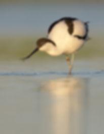 Tijdens het foerageren sleept de Kluut z'n snavel door het water.