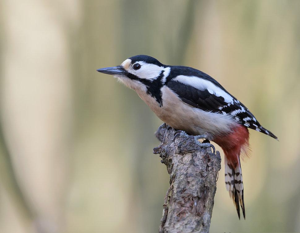 Vogelfotografie,  Grote Bonte Specht