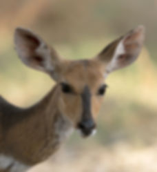 Bushbuck (Bosbok)