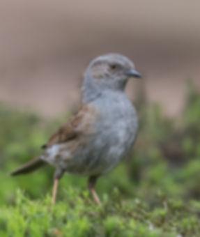 Vogelfotografie, Heggenmus