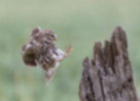 Vluchtfoto Steenuil.