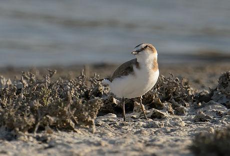 Vogelfotografie Lesbos, Strandplevier.
