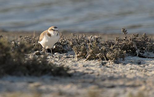 Vogelfotografie Lesbos, Strandplevier