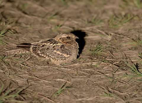 Kafue NP, Square-tailed Nightjar.