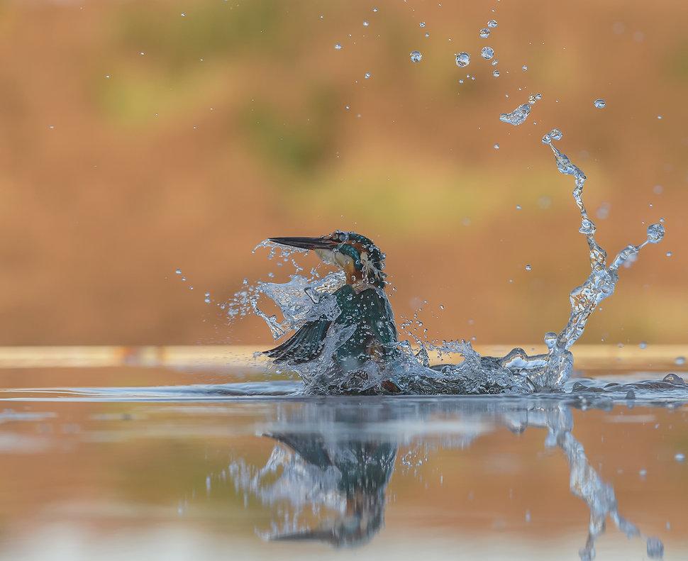 Vogelfotografie, IJsvogel, Schotland
