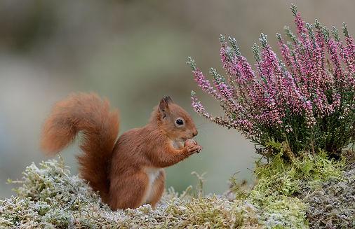 Dierenfotografie, Eekhoorn, Schotland