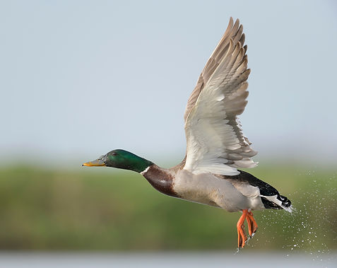 De Wilde eend kan als een helicopter recht omhoog wegvliegen!