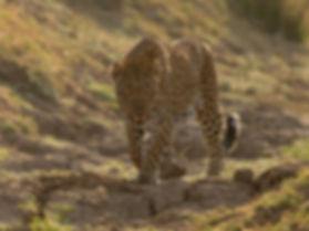 """Luipaard jagend vanuit een """"Gully""""."""