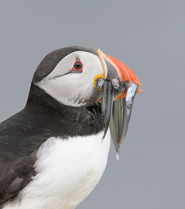 De Papegaaiduiker land aan de rand van het eiland, voordat de vogel naar het nest vliegt.