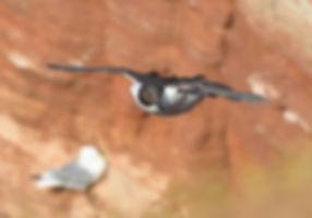 Zeekoet vliegt weg van de klif.