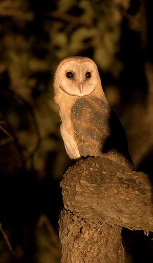Westelijke Barn owl (Kerkuil)