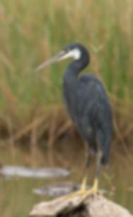 Vogelfotografie Westelijke Rifreiger.
