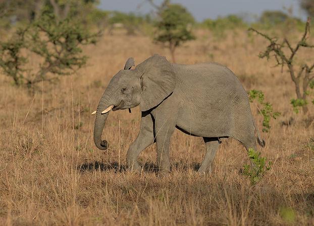 Kafue NP, Elephant.