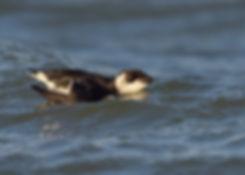 Kleine Alk heb ik gefotografeerd bij de Afsluitdijk!