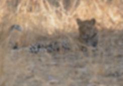 Luipaard vrouw ligt onder de boom met prooi te rusten.