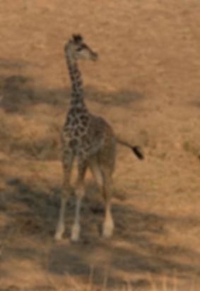 Giraffe (Noordelijke Giraffe)