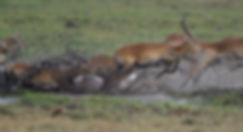 Kafue NP, Red Lechwe.