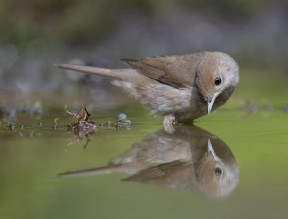 Vogelfotografie, Zwartkop