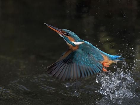 Vogelfotografie IJsvogel.SC2729.jpg