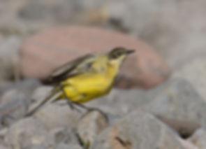 Vogelfotografie Lesbos, Gele Kwikstaart.