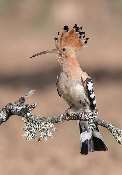 Vogelfotografie Toledo, Spanje,  Hop.