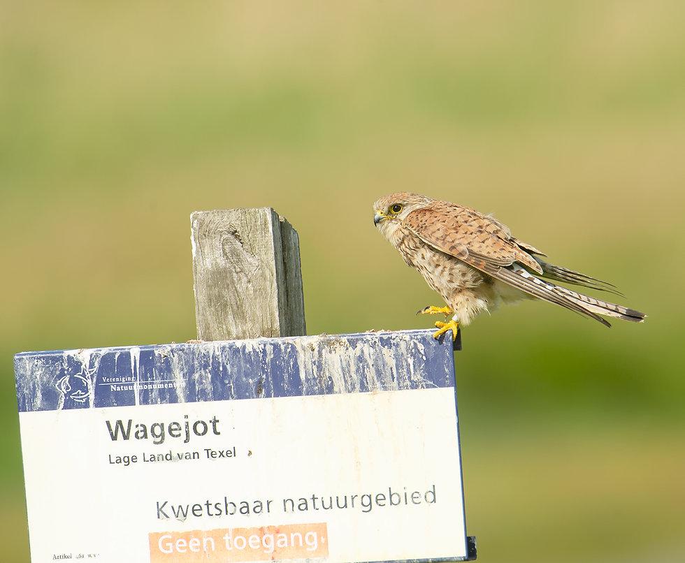 Vogelfotografie Texel, Torenvalk.