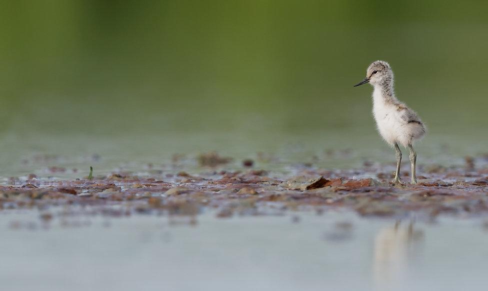 Vogelfotografie Kluut.