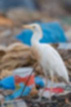 Koereiger op het strand met afval!