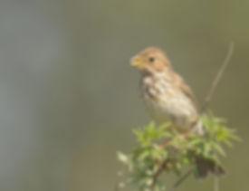 Vogelfotografie Lesbos, Grauwe Gors.