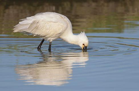 Vogelfotografie Texel.  Lepelaar aan het foeragren.