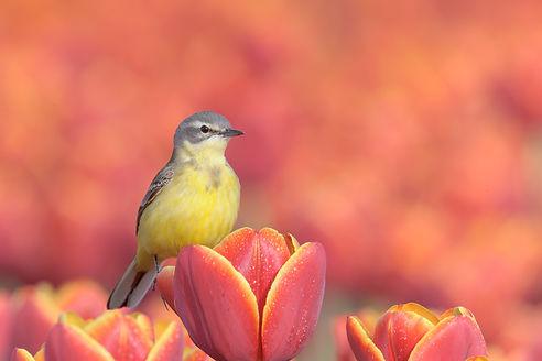 Gele Kwikstaart op rode tulpen.