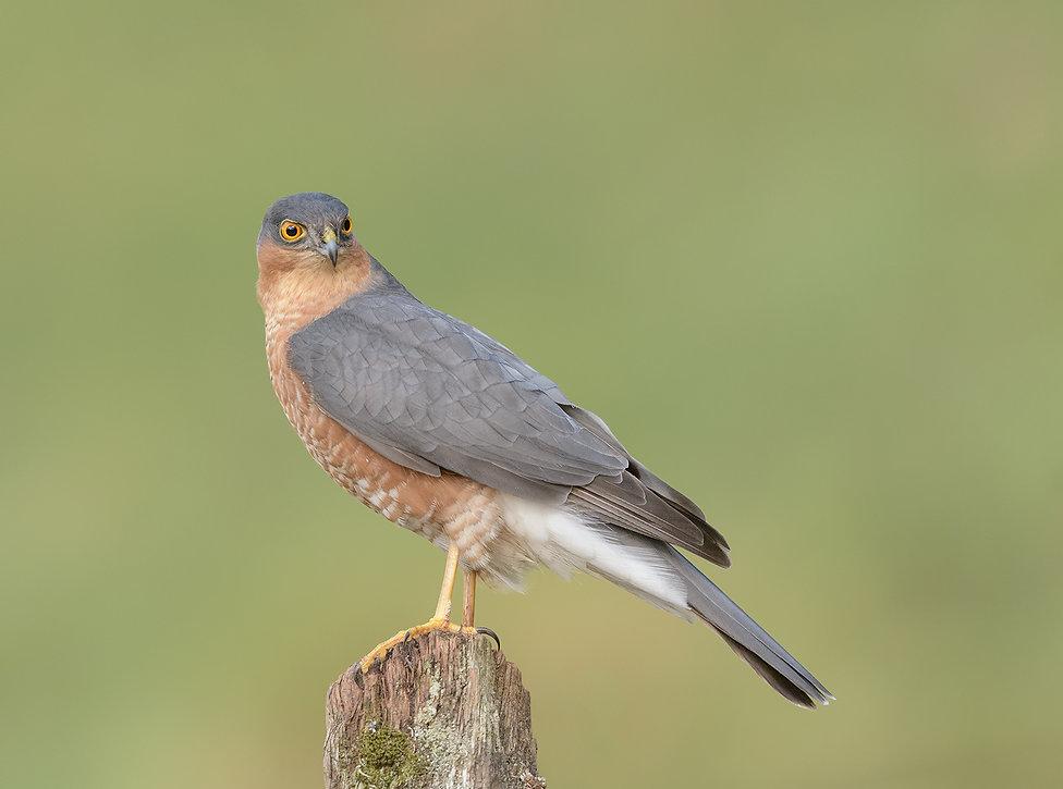 Vogelfotografie, Schotland, Sperwer