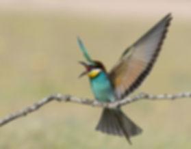 Vogelfotografie Toledo, Spanje,  Bijeneter.