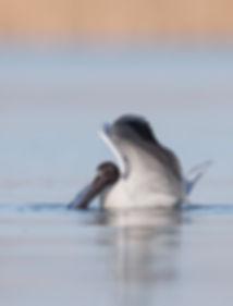 Vogefotografie, Kokmeeuw met vis.