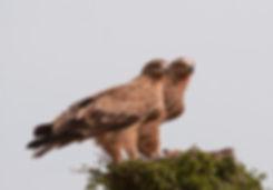 Deze jonge Savannearenden zaten mooi naast elkaar in het nest. Gemaakt in Africa.