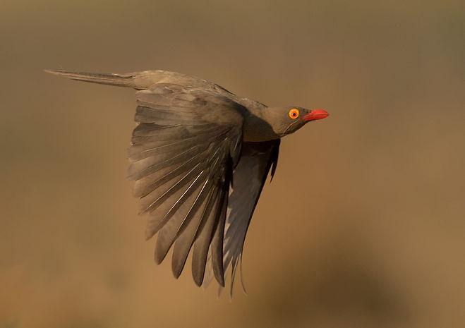 Red-Billed Oxpecker (Roodsnavelossenpikker)