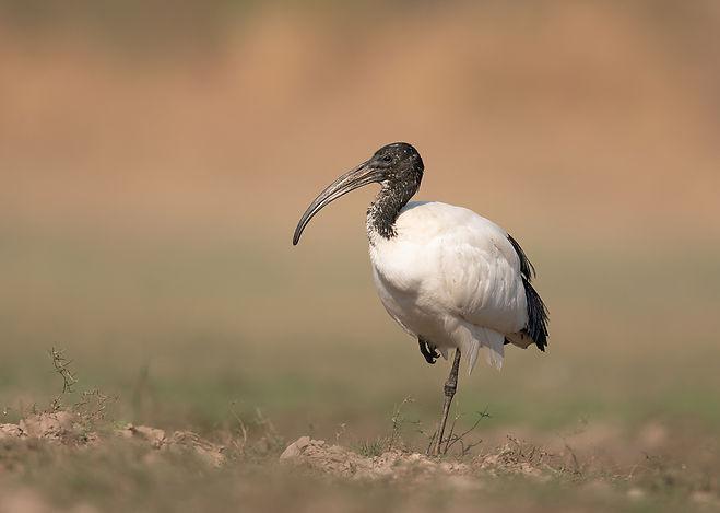African-Sacred Ibis (Heilige Ibis)