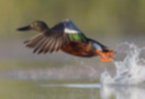 Vogelfotografie Bird in flight Slobeend.
