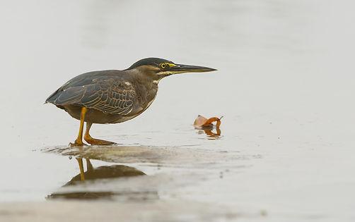 Vogelfotografie Mangrovereiger.
