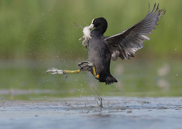 Vogelfotografie Meerkoet.