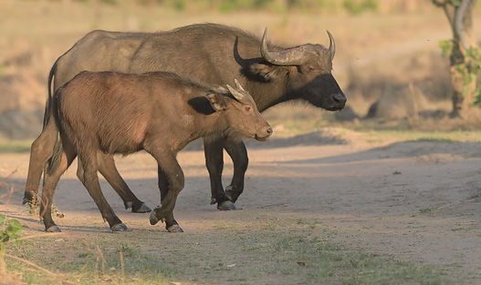 Kafue NP, Savanna Buffalo.