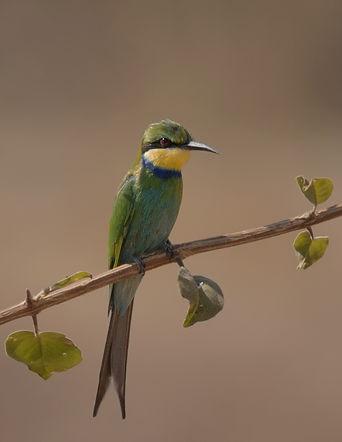 Blue Cheeked Bee-eater (Groene Bijeneter)