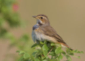 Vogelfotografie Texel. Blauwborst.