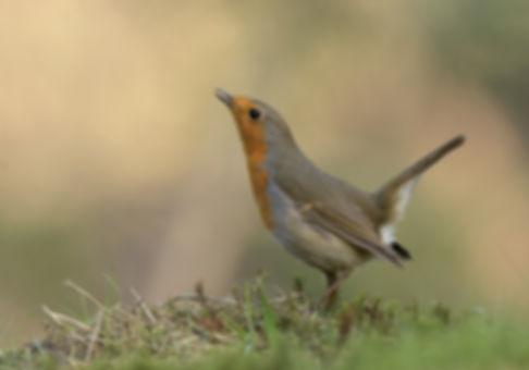Vogelfotografie Roodborst.